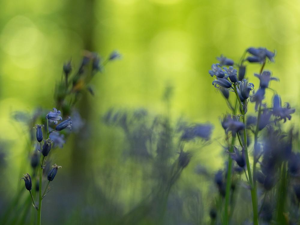 belgium bluebell bokeh