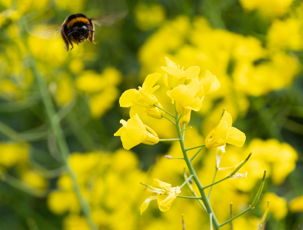 bee and rapeseed flowers