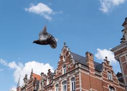 pigeon in flight leuven