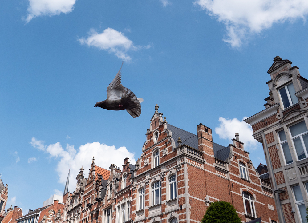 pigeon in flight leuven