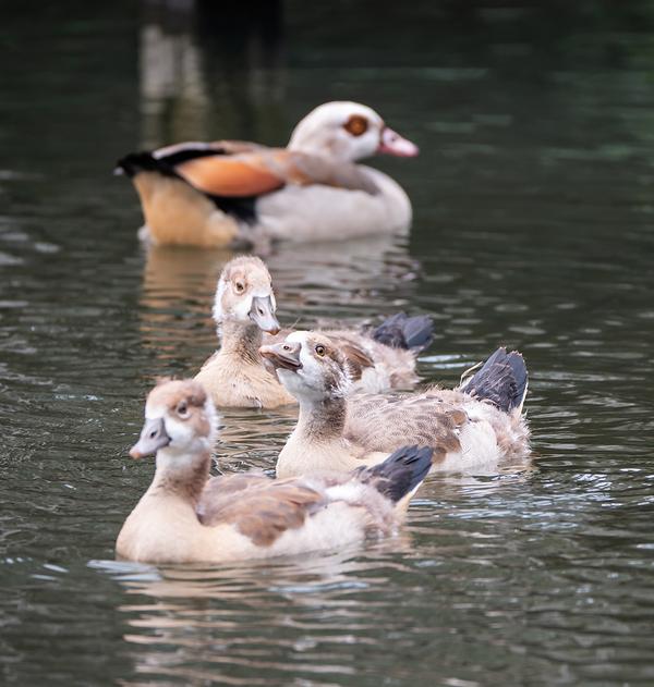 pond life ducking