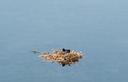 coot nest