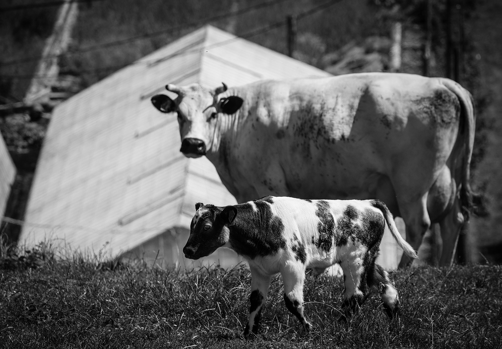 calf and mother cow