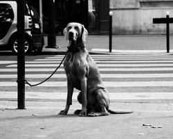 Weimaraner in Paris