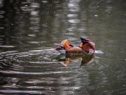 Mandarin Duck in Belgium