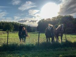 horses in flanders