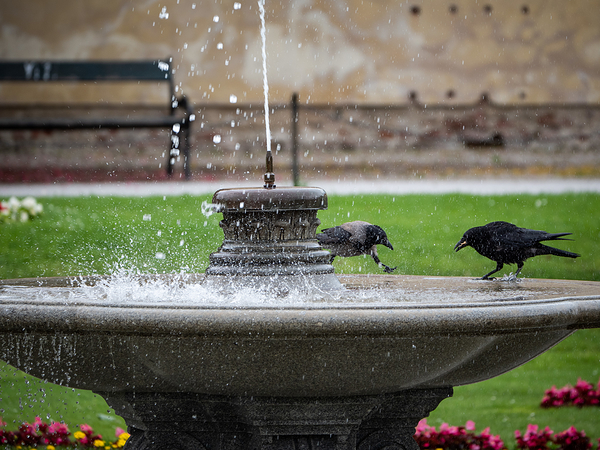 fountain crows