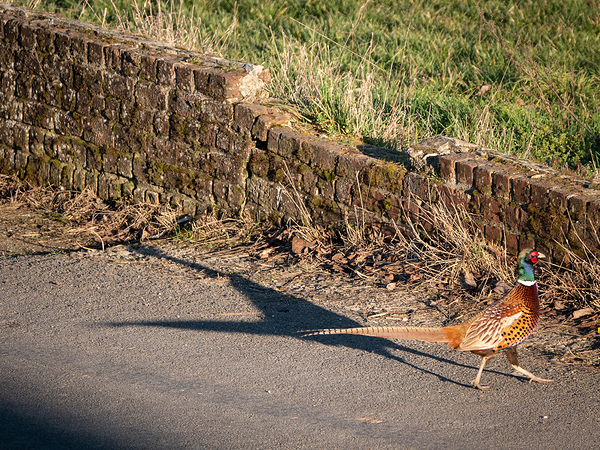 male pheasant and shadow