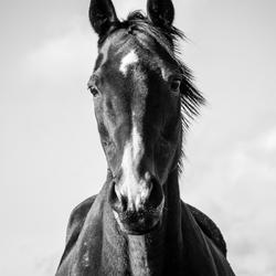 horse potrait