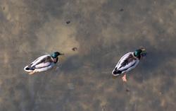 duck poind