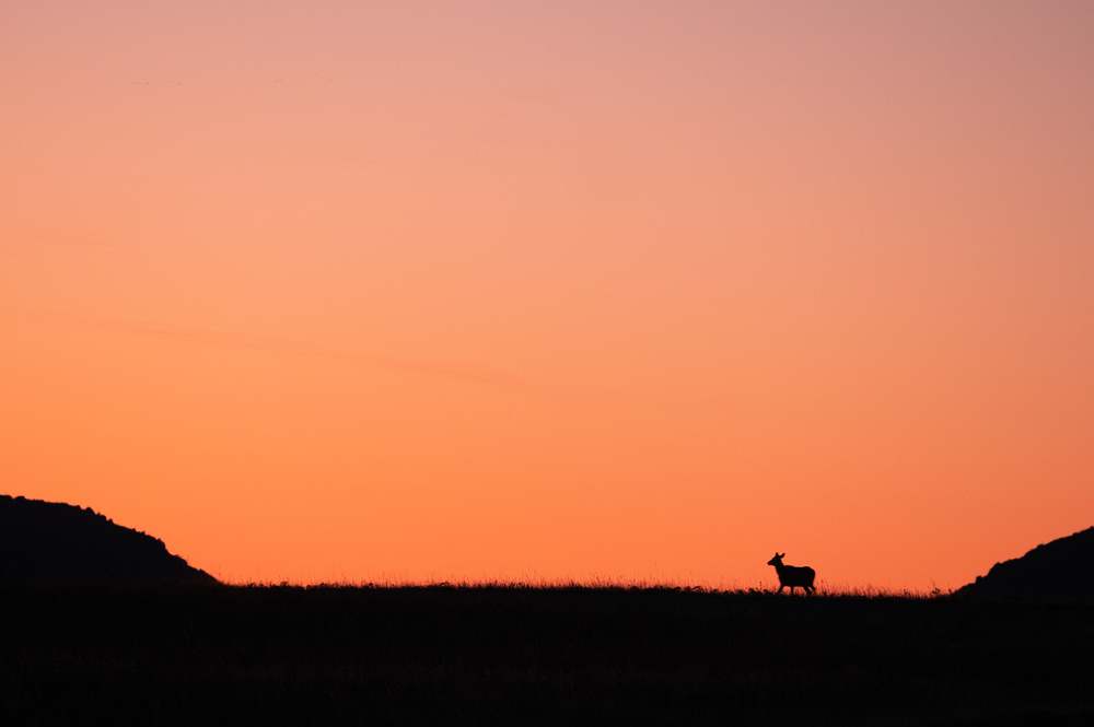 elk silhouette sunset
