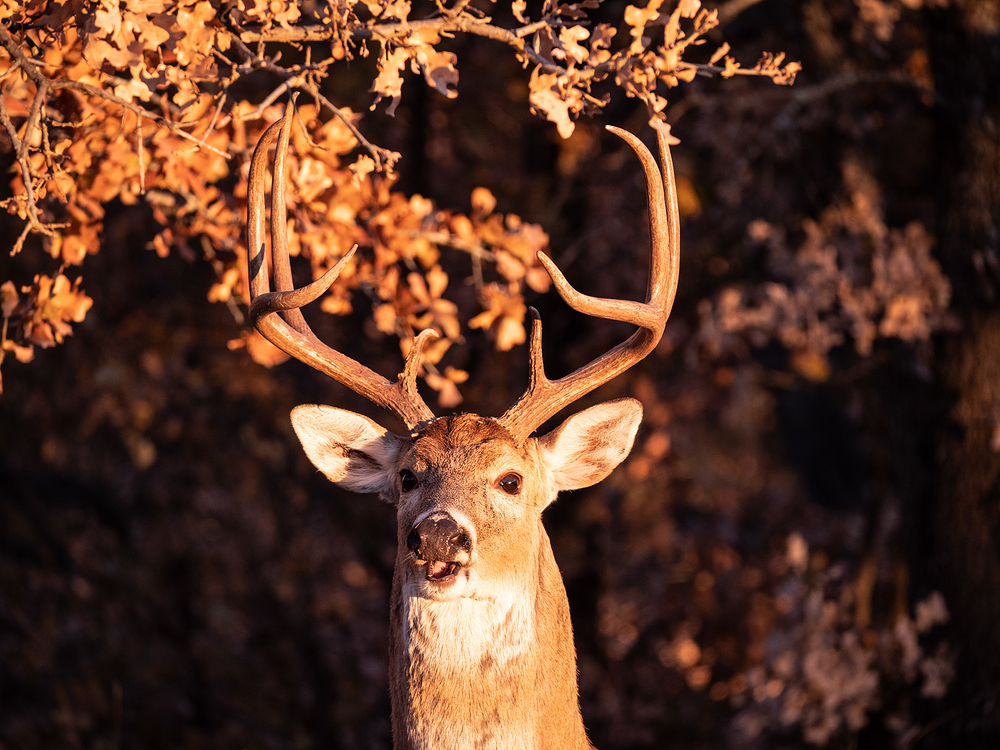 buck in golden light