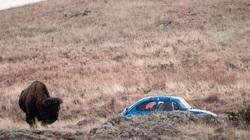 volkswagen and bison