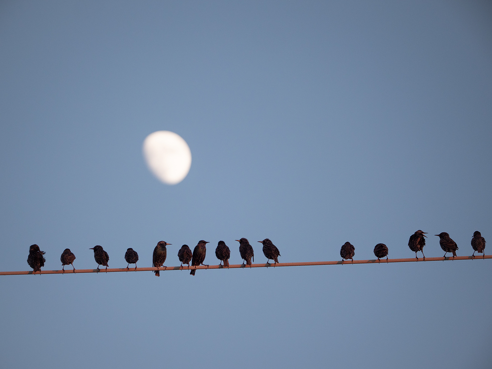 birds on a wire with the moon
