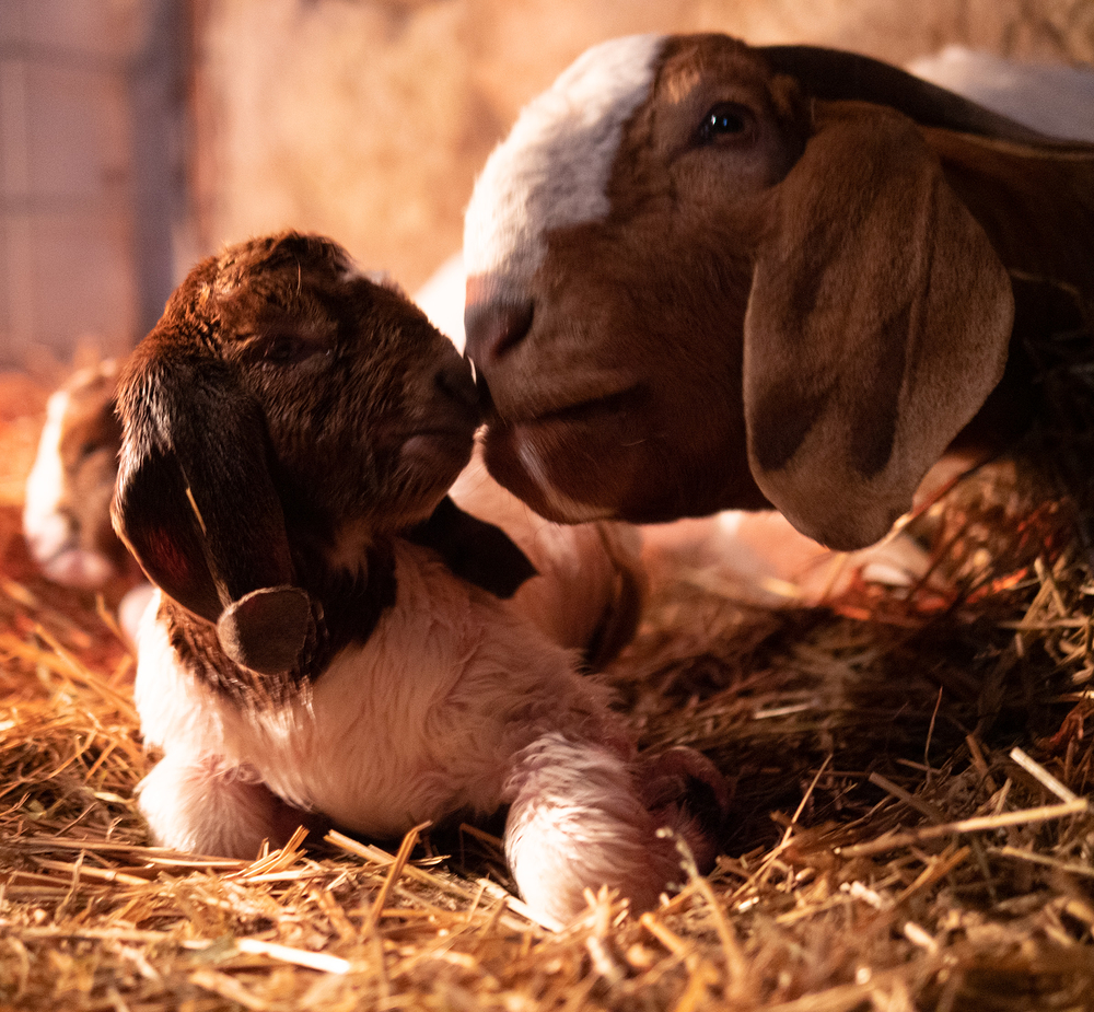 goat mother and kid