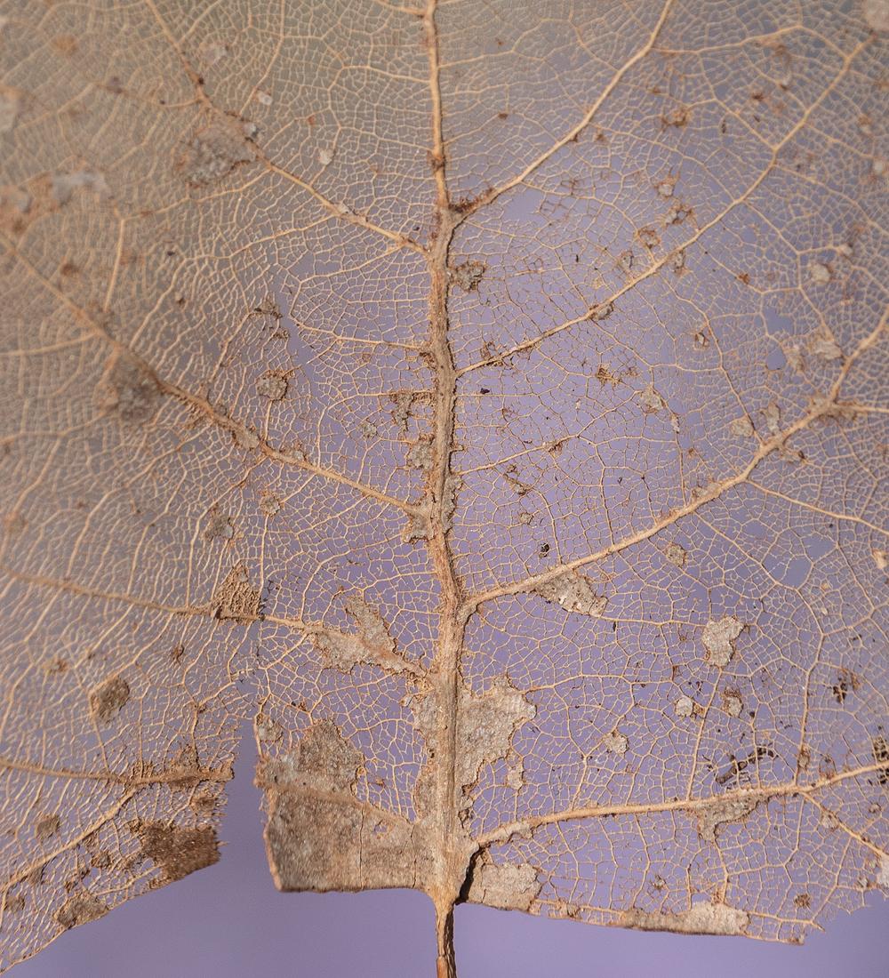 leaf bones