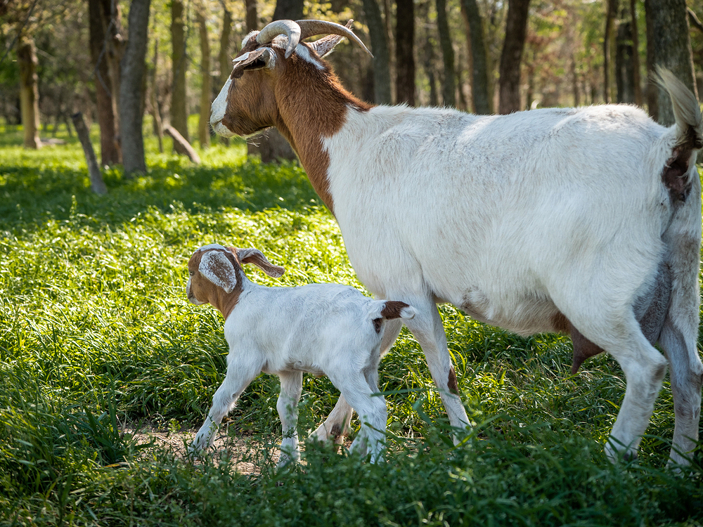 goat baby and mother