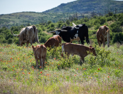 long horn calf wichita mountain wildlife refuge