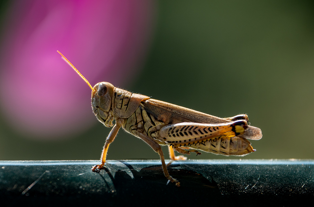 Grasshopper at the Gate ii