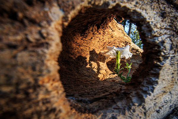 The Eye of the Old Tree