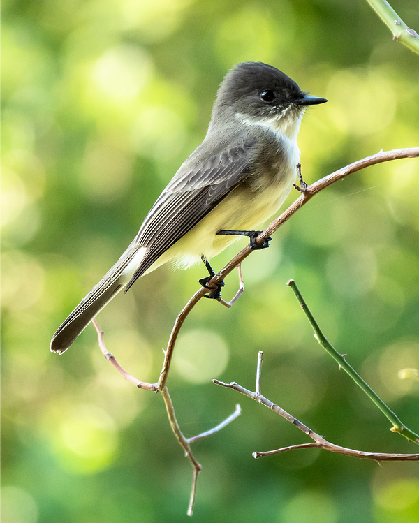 Eastern Phoebe with green blurred background