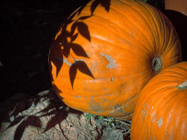 shadows of the pumpkin