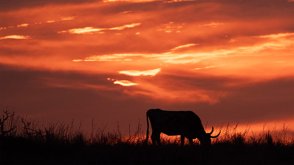 grazing by the light of a setting sun