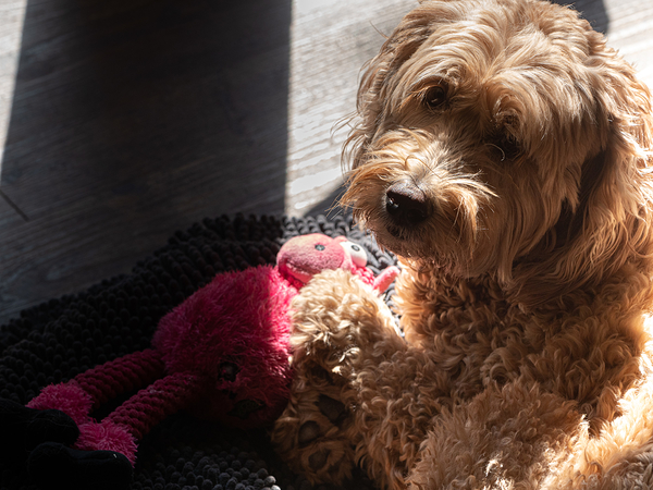 golden doodle with toy