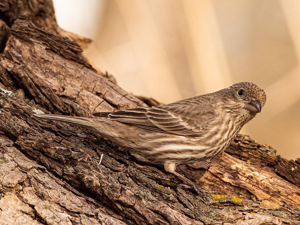 Peaking Finch