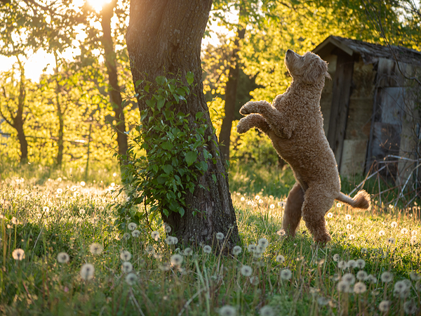 Dancing Dawg of the Magic Meadow