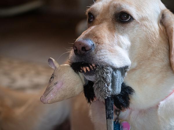 Can dogS wear novelty Teeth?