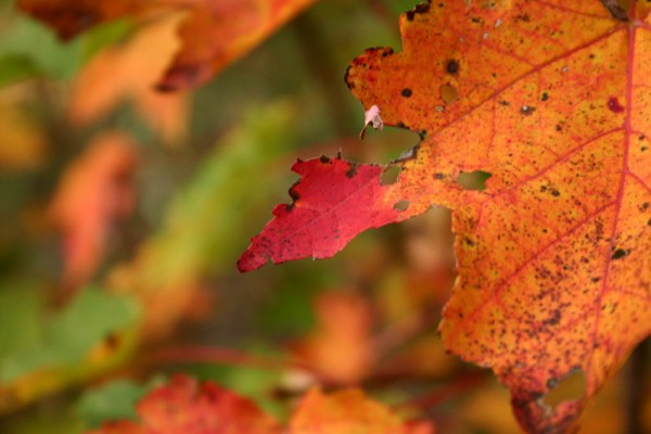 Red Leaf of Fall