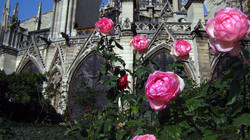 Peonies of Notre Dame
