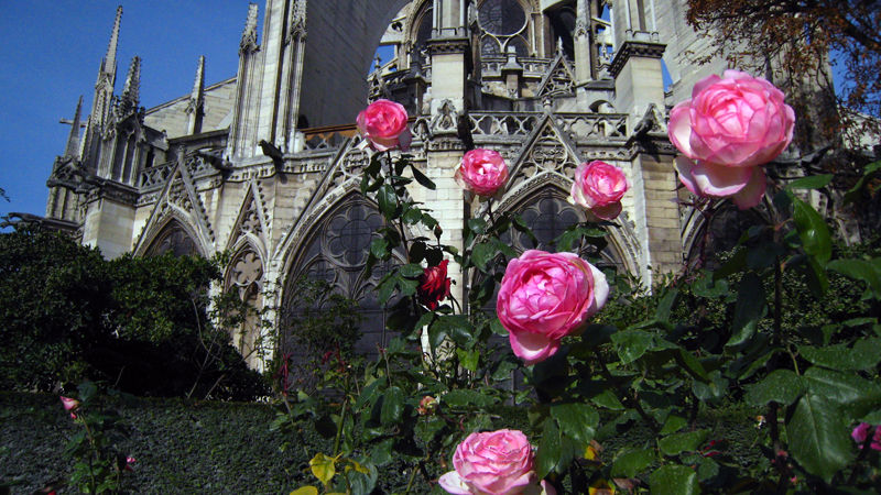 Roses in front of Notre Dame, Paris