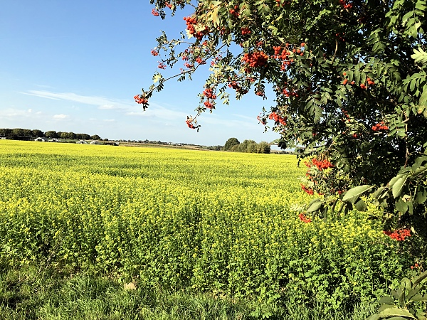 Rape seed field with tree orange berries