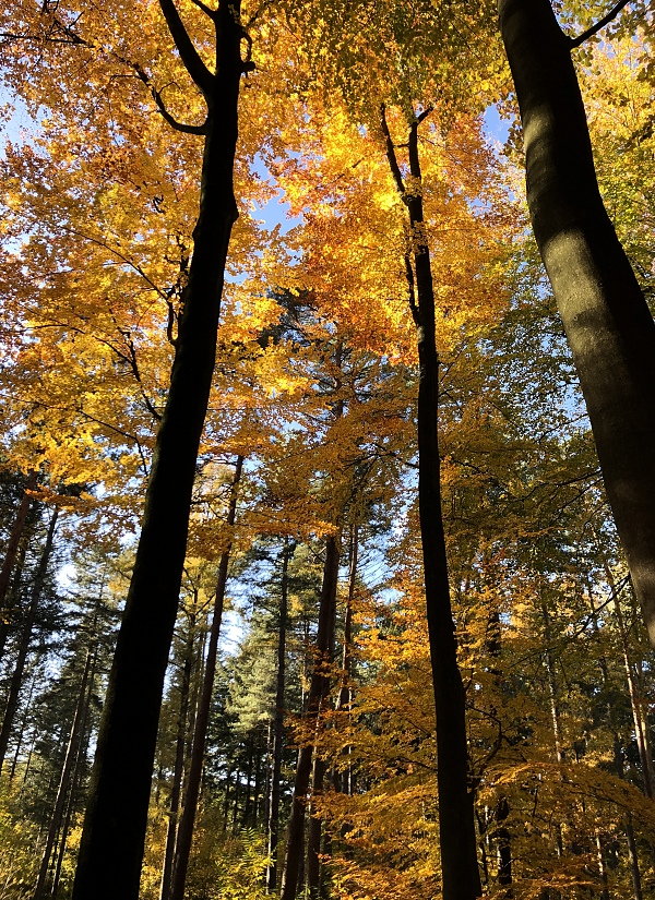 Yellow leaves in the Belgian forest