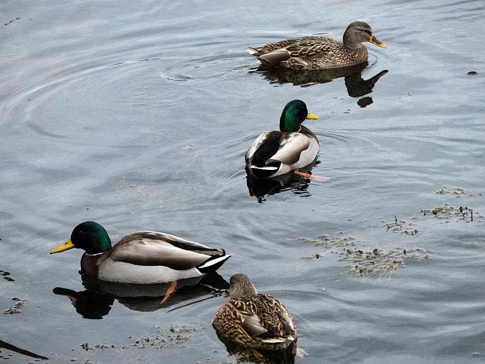 mallard ducks harbor