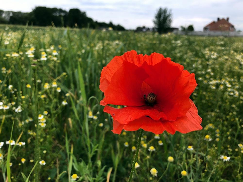 poppy, wheat field, dramatic sky