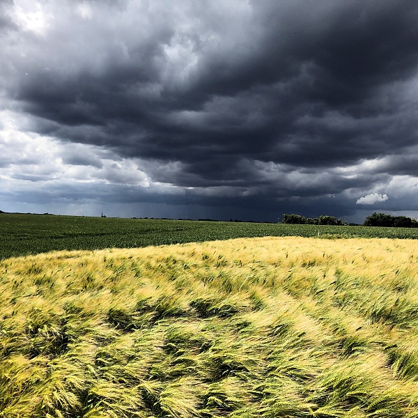 belgian wheat field, storm clouds