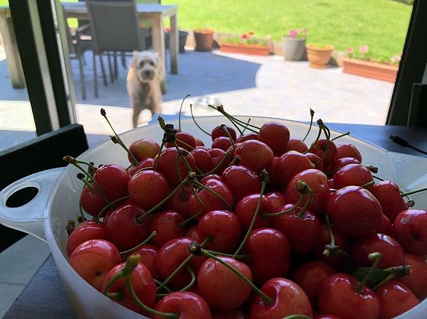 dog, bowl of cherries, summertime