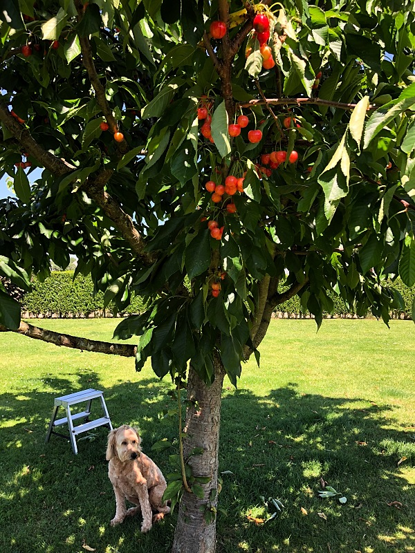 dog, cherry tree, summertime
