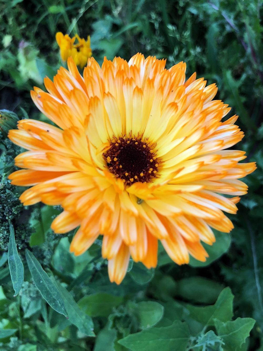 flower, garden, orange
