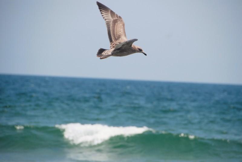Large sea gull