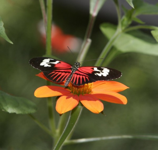 Bright Orange butterfly