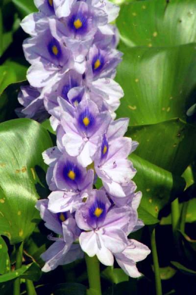 Water hyacinth!