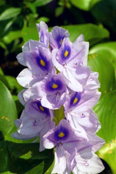 Another water hyacinth!