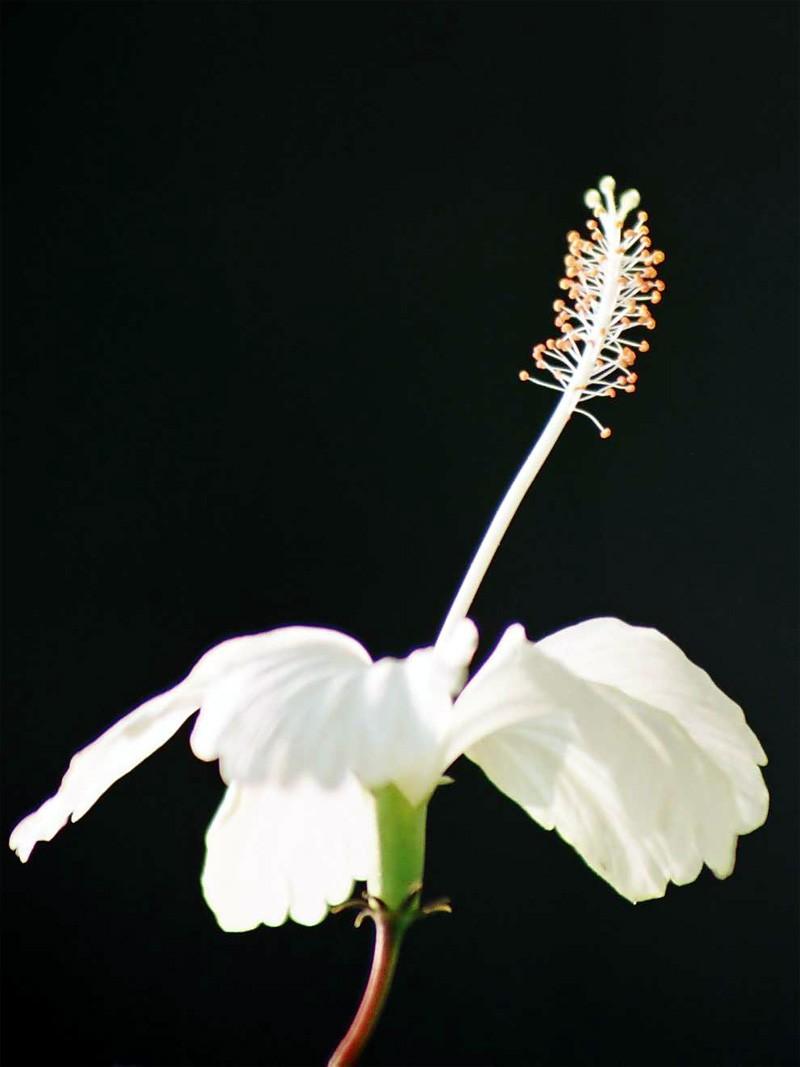 White Hibiscus!