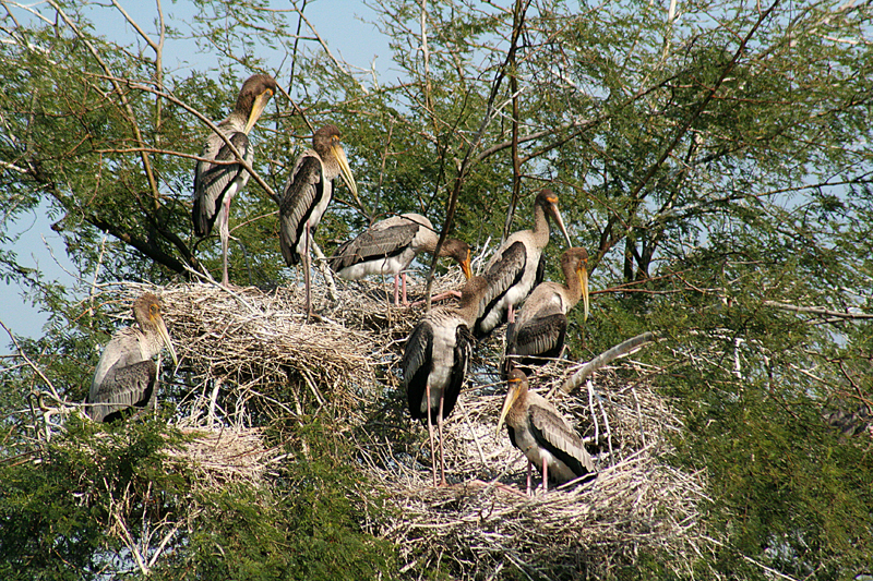 Storks from Siberia