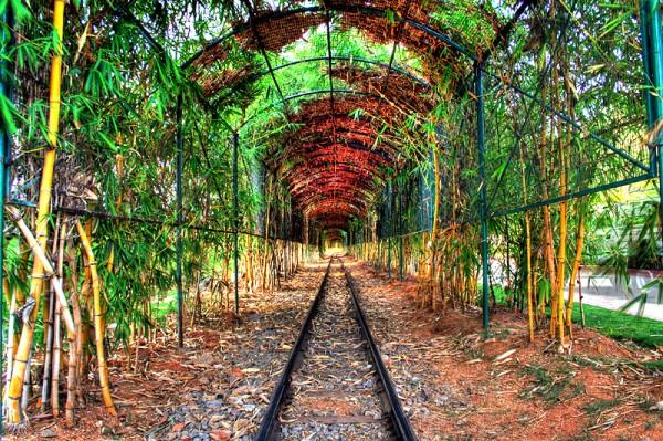 Bamboo tree tunnel.
