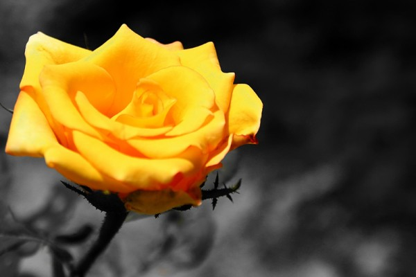 Yellow Rose!